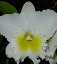 Blc. (Burdekin Wonder 'Lake Land' AM/AOS x Taida Eagle ' White Angel' FCC/AOS)