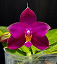 Phal. (Yungho Ruby x Mituo Gelb Eagle)