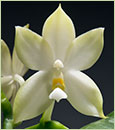Phal. bellina var. alba 'Note: Only 3 Available, 1-3 Spikes'  (bellina ' FANGtastic' x bellina ' Penang's Best')