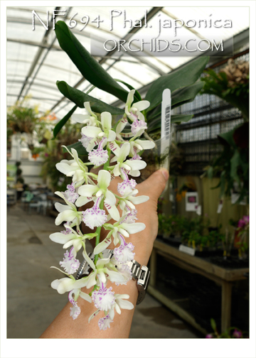 Phal. japonica  ( x )