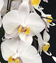 "Phal philippinense ( philippinense ' East Sea' x "" Silver Leaves )"