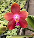 Phal Tying Shin Fly Eagle x Nobby's Green Eagle