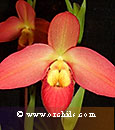 Phrag. Don Wimber  (Eric Young 4N 'Mont Millais' AM/AOS x besseae)