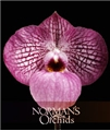 Paph. Magic Lantern  (micranthum 'Bubble Gum' x delenatii 'Miss Saigon')