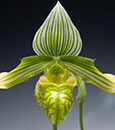 Paph. venustum v. album ('Green Zone' x 'Candor Wintergreen' AM/AOS)