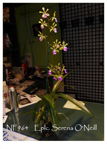 Eplc Serena O Neill X Orchids Com