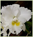 C. Nancy Off 'Linwood' AM/AOS (Bebe White x Joyce Hannington)