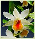 Den. Christy Dawn  (Den. Dawn Maree x Den. christyanum)