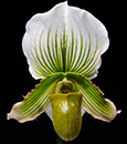 Paph. (Hsinying Citron x fairrieanum ' Green Giant ')