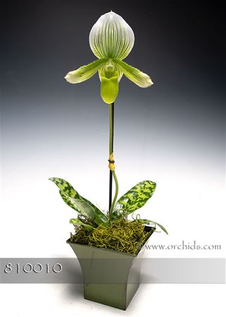 Jade Lady's Slipper Orchid (Online orders only!)