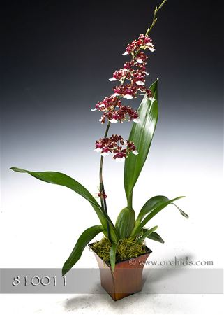 Premium Fragrant Chocolate Orchid in Deco Container