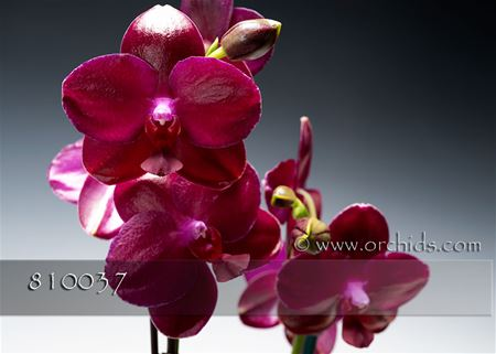 Mom's Premium Red Butterfly Orchid in Euro Cache Pot