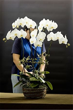 White Symphony Butterfly Orchid Combo