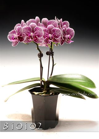Petite Sweetheart Phalaenopsis in Cachepot