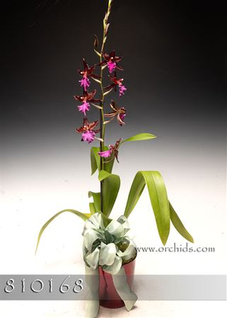 Swiss Beauty Orchid in Deco Container