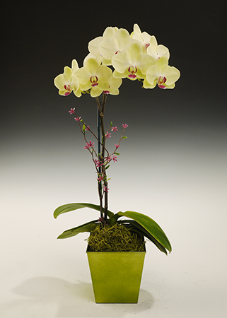 Striking Phalaenopsis Jewels in Deco Container (Online orders only!)
