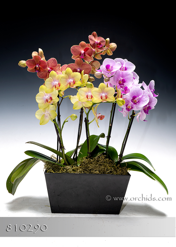 Rainbow of Multifloral Phalaenopsis in Cachepot