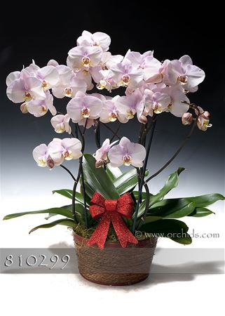 Pretty in Pink Phalaenopsis Combo