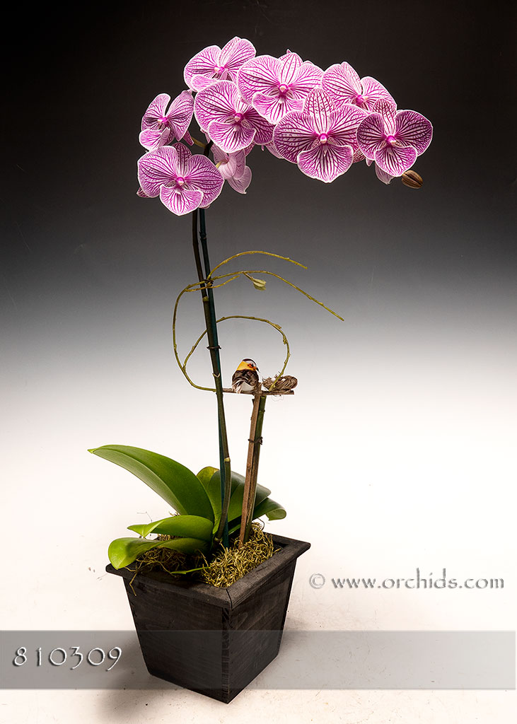 Candy Cane Phalaenopsis in Deco Container
