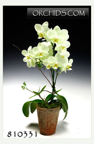 Key Lime Phalaenopsis in Asian Cachepot