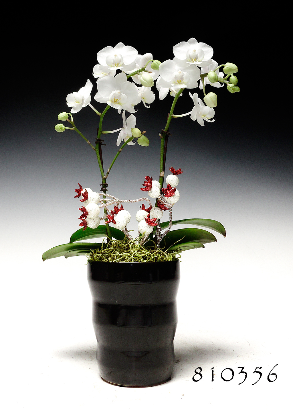 White Angel Butterfly Orchid Combo (Online orders only!)