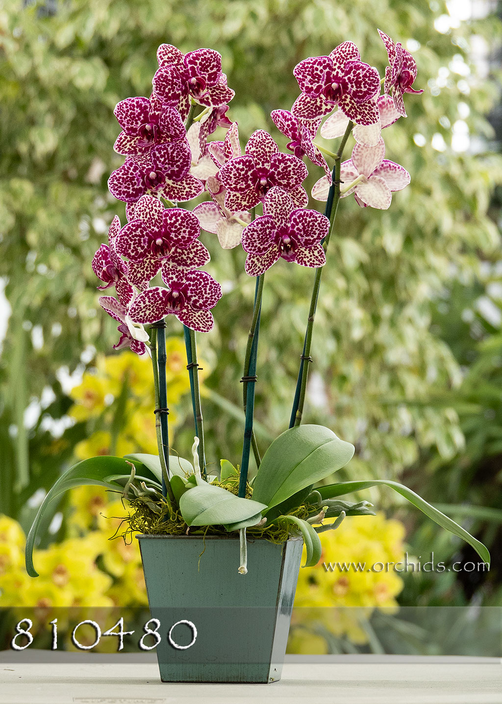 Orchid Sweet Heart in Deco Container