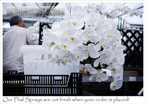 Large White Phalaenopsis:  10 cut Flower Spikes