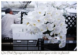 Large White Phalaenopsis:  12 cut Flower Spikes