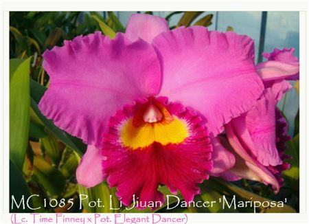 Pot. Li Jiuan Dancer 'Mariposa'  (Lc. Time Finney x Pot. Elegant Dancer)