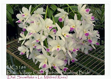 Dialc. Village Chief Parfum 'Blushing Bride'  (Dial. Snowflake x Lc. Mildred Rives)