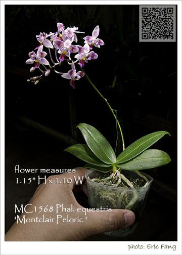 Phal. equestris 'Montclair Peloric; Note: Limited!'