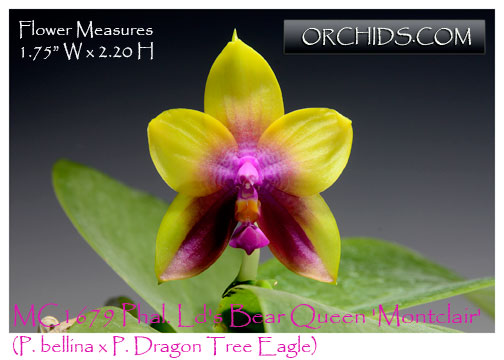 Phal. Ld's Bear Queen 'Montclair' AM/AOS   (P. bellina x P. Dragon Tree Eagle)