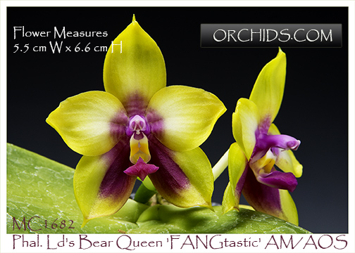 Phal. Ld's Bear Queen 'FANGtastic' AM/AOS (bellina x Dragon Tree Eagle)