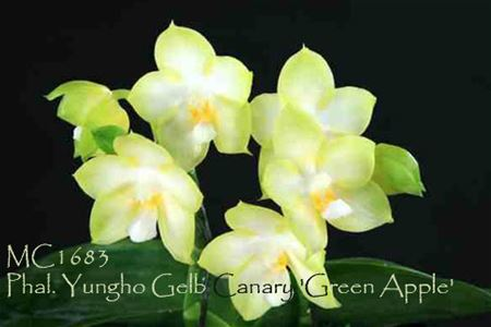 Phal. Yungho Gelb Canary 'Green Apple'  (Gelblieber x Princess Kaiulani)
