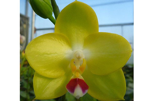 Phal. Mituo Diamond Canary 'Gold Red'  (Diamond Beauty x Yungho Gelb Canary)