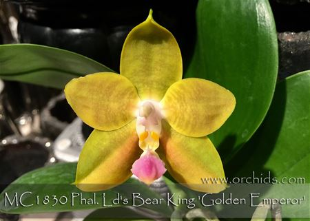 Phal. Ld's Bear King 'Golden Emperor' (Hannover Passion x Dragon Tree Eagle)