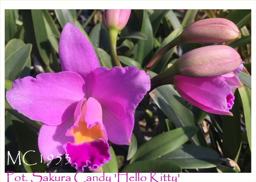 Pot. Sakura Candy 'Hello Kitty'  (C. Starry Sky x Ctt.   Candy Tuff)