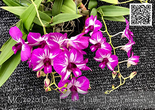 Den. Enobi Purple 'Little Thai Princess'