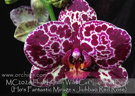 Phal. Lioulin Wild Cat 'Lioulin's Best'  (Ho's Fantastic Mirage x Jiuhbao Red Rose)