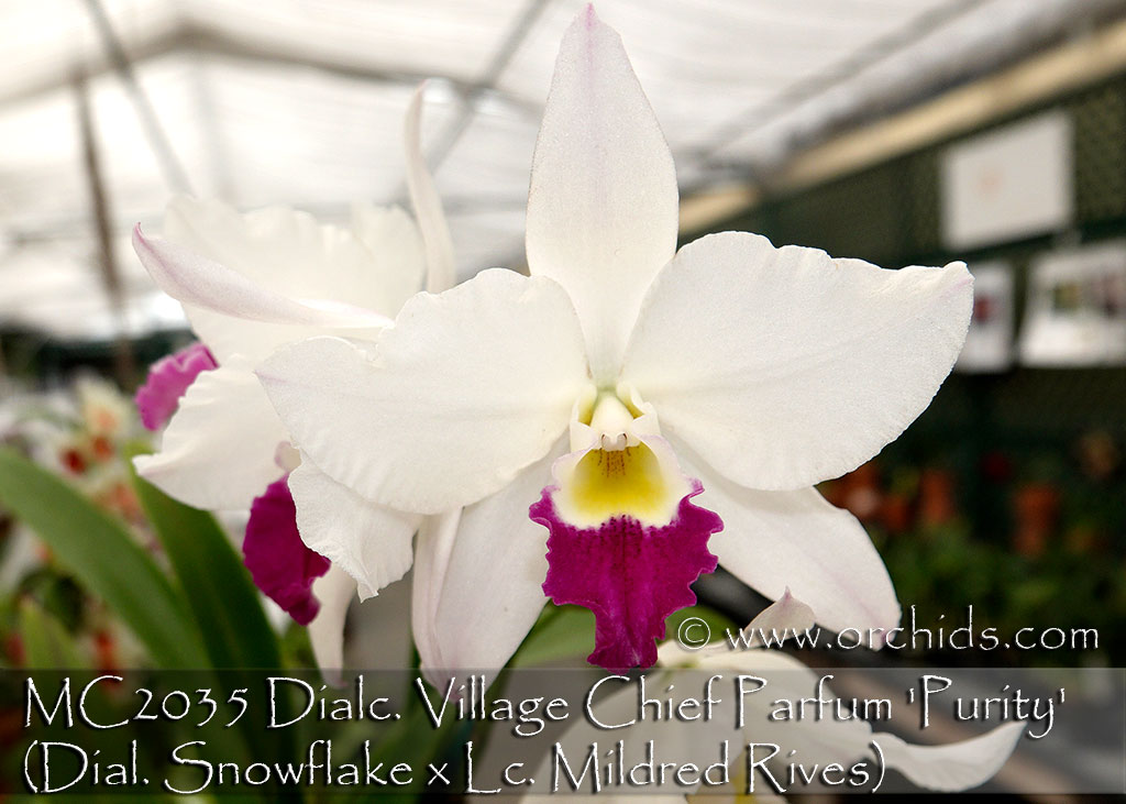 Dialc. Village Chief Parfum 'Purity' (Dial. Snowflake x Lc. Mildred Rives)