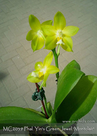 Phal. Yin's Green Jewel 'Montclair'  (Tsay's Evergreen  ' FANGtastic ' AM/AOS x Yungho Geb Canary ' Wen Ming' AM/AOS)