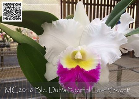 Blc. Duh's Eternal Love 'Sweet' (Taiwan Zeus x Duh's Angel)