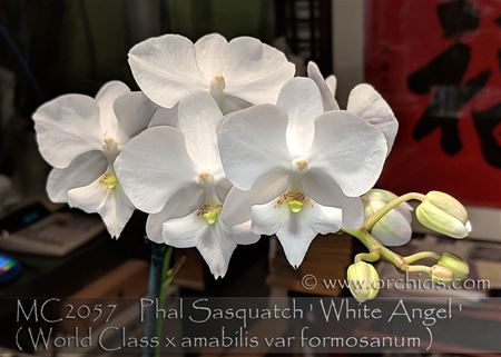 Phal Sasquatch ' White Angel ' ( World Class x amabilis var formosanum )