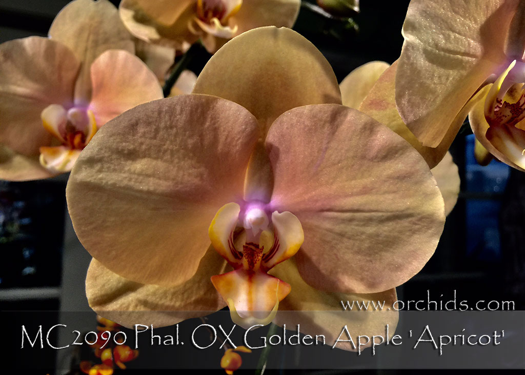 Phal. OX Golden Apple 'Apricot' (Fusheng Sweet Paradise x OX Spot Queen)