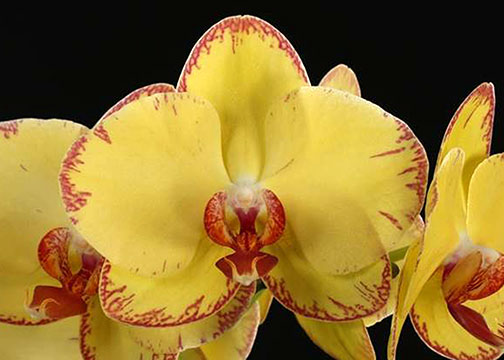 Phal. OX Golden Lottery 'OX 1665' FCC/AOS (OX Lottery x OX Golden Star)