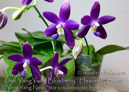 Phal YangYang Blueberry ' Heavenly Scent' (YangYang New Star x violacea var Indigo )