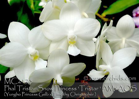 Phal Tristar Snow Princess ' Tristar ' AM/AOS (Yungho Princess Gelb x Timothy)