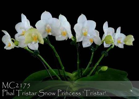 Phal. Tristar Snow Princess ' Tristar ' AM/AOS (Yungho Princess Gelb x Timothy)