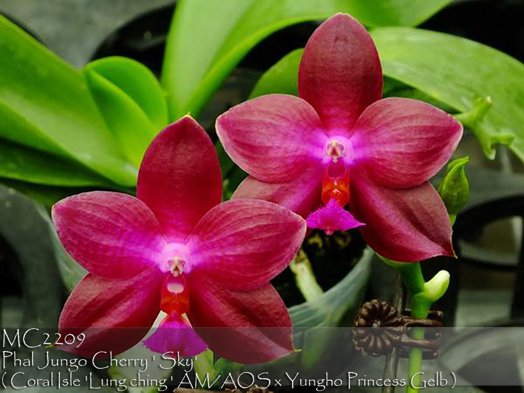 Phal Jungo Cherry ' Sky' (Coral Isle 'Lung ching ' AM/AOS x Yungho Princess Gelb )