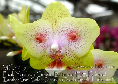 "Phal. Yaphon Green Batman "" ES Peloric' (Brother Sara Gold x Chiada Spark)"